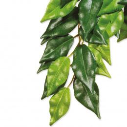 Rastlina terar.Ficus velky
