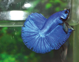 Bojovnice pestrá - Betta splendens Half Moon 5cm