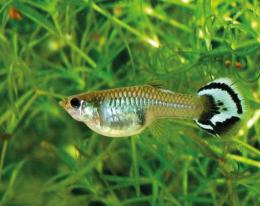Paví očko (živorodka duhová) - Poecilia reticulata samice mix 3cm