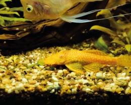 Krunýřovec zlatý - Ancistrus sp. gold 4cm