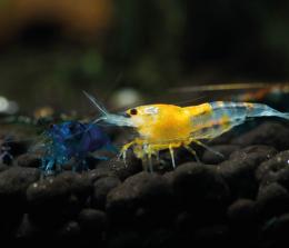 Krevetka sladkovodní - Neocaridina heteropoda de luxe mix