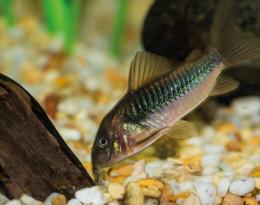 Pancéřníček zelený - Corydoras aeneus/schultzei 3,5cm