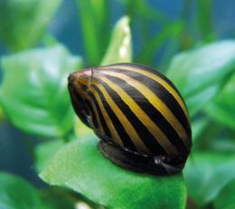 Neritina zebra - Neritina natalensis 1,5-2cm
