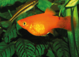 Plata skvrnitá korálová - Xiphophorus maculatus koral