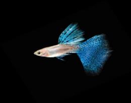 Paví očko modré - Poecilia ret. Male samec 3cm