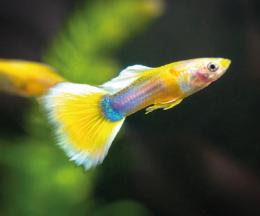 Paví očko žluté - Poecilia ret. yelow samec 3cm