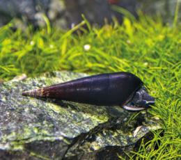 Piskořka černá - Faunus snail
