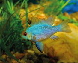 Cichlidka Ramirezova Electric blue - Papiliochromis ramirezi eletric blue