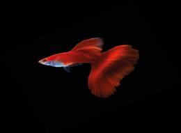 Paví očko červené - Poecilia ret. Red samec 3cm