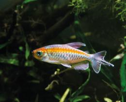Tetra konžská - Phenacogrammus interruptus 4,5cm