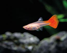 Paví očko červené - Poecilia ret. Female Red samice 3cm