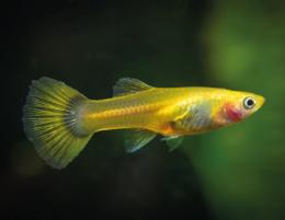 Paví očko žluté - Poecilia ret. Female Yelow samice 3cm
