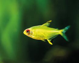 Tetra citronová - Hyphessobrycon pulchripinnis 2,5cm