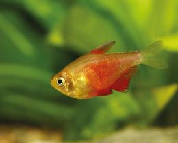 Tetra červená - Hyphessobrycon flammeus 2,5cm