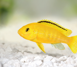 Tlamovec černoploutvý - Labidochromis yellow