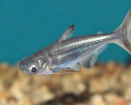 Sumeček žraločí - Pangasius sutchi 4,5cm