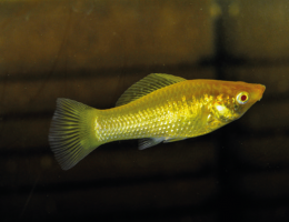 Živorodka ostrotlamá Gold Tuxedo - Poecilia shenops gold tuxedo molly