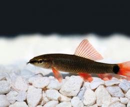 Parmička červenoploutvá - Labeo frenatus 4,5cm