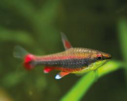 Drobnoústka Beckfordova - Nannostomus beckfordi 3cm