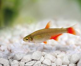 Tetra červenoploutvá - Aphyocharax anisitsi 3cm