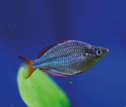 Gavůnek modrý - Melanotaenia praecox 4,5cm