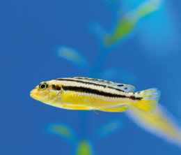 Tlamovec pestrý - Melanochromis auratus