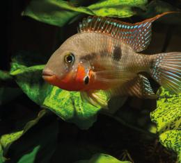 Kančík červenohrdlý - Cichlasoma meeki 4,5cm