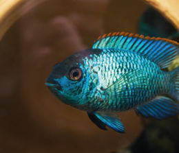 Akara modrá - Aequidens pulcher /latifrons/ 4,5cm