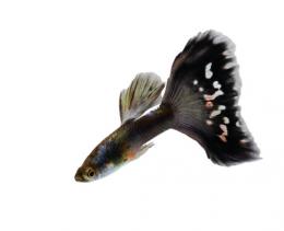 Paví očko černé - Poecilia ret. Black samec 3cm