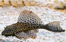 Glyptoper velkoploutvý - Pterygoplichthys gibbiceps 5cm