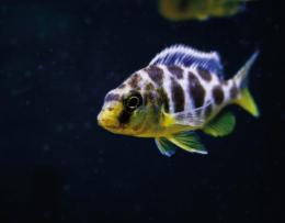Tlamovec spící - Haplochromis venustus