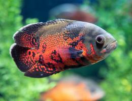 Vrubozubec paví Red Tiger Oscar - Astronautus ocellatus red tiger oscar