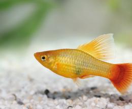 Plata skvrnitá Hi-Fin - Xiphophorus maculatus hi - fin