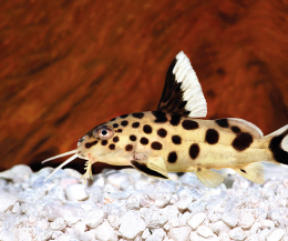 Peřovec kukaččí - Synodontis multipunctatus