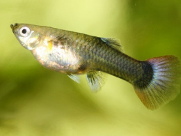Paví očko černé - Poecilia ret. Female Black samice 3cm