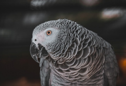 Papoušek žako šedý