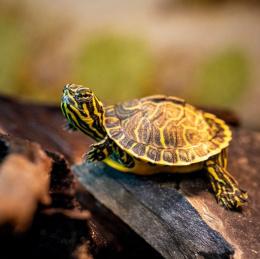 Želva žíhaná