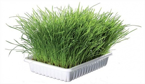 Zāle kaķiem - Trixie Bio Cat Grass (bowl), 100 g title=
