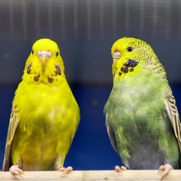 Papoušek vlnkovaný - andulka