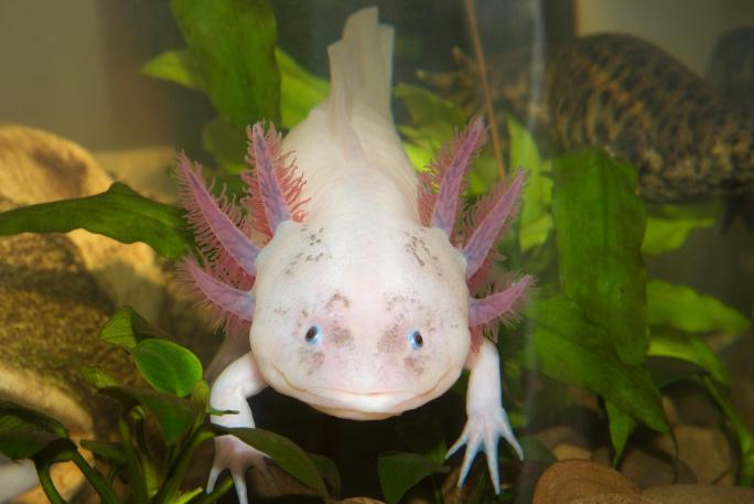 Axolotl mexický, neobvyklý mazlíček do akvária title=