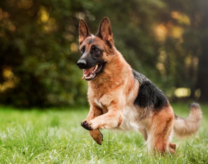 Torze žaludku u psa a jak jí předejít title=