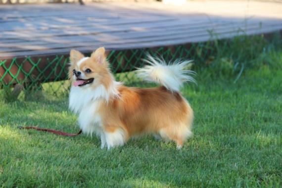 Čiuaua (Chihuahua)