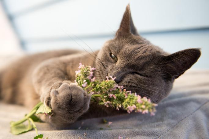 Šanta kočičí: Proč ji kočky tak milují?  title=