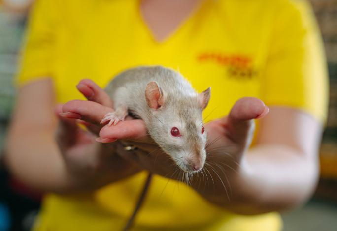Jak chovat potkana?  title=
